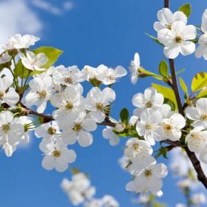 Blossom Branch sq diy kitchen glass splashback